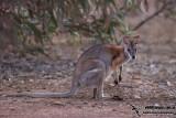 Black-striped Wallaby