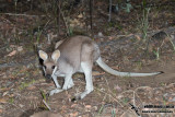 Whiptail (Pretty-faced) Wallaby
