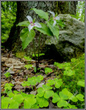 Wood sorrel & Trillium