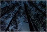 Tall trees,Tioga County, Pa.