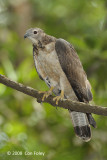 Buzzard, Crested Honey