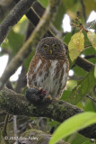 Owlet, Collared