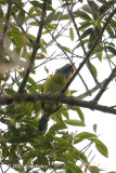 Barbet, Yellow-crowned @ The Old Road