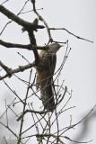 Cuckoo, Sunda