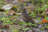 Thrush, Siberian (female) @ Telecom Loop