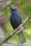 Philentoma, Rufous-winged (male - blue morph)