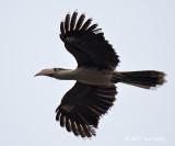 Hornbill, Austen's Brown (male) @ Mang Den