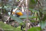 Laughingthrush, Golden-winged