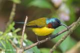 Sunbird, Green-tailed @ Ngoc Linh
