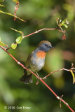 Flycatcher, Rufous Gorgeted