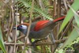 Laughingthrush, Red-tailed @ Mang Ri