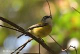Shrike-babbler, Green @ Ngoc Linh