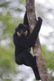 Gibbon, Buff-cheeked (male) @ Cat Tien