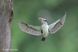 Kingfisher, Collared @ Chinese Gardens