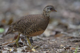 Partridge, Green-legged @ Cat Tien