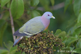 Pigeon, Pink-necked Green (male) @ Jelutong