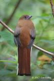 Trogon, Red-headed (female) @ Bishop's Trail