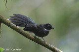 Fantail, White-throated @ Telecom Loop