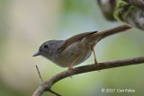 Fulvetta, Mountain @ Telecom Loop