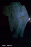 Asian Elephant (male)