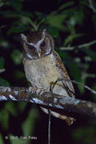 Owl, White-fronted Scops