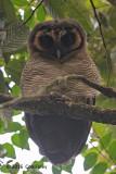 Owl, Brown Wood @ Hemmant Trail