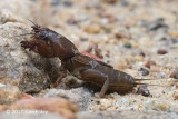 Mole Cricket (sp)