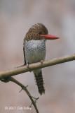 Kingfisher, Banded ( female) @ Bach Ma