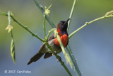 Sunbird, Black-throated (male) @ Di Linh