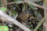 Babbler, Spot-throated