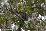 Cuckooshrike, Indochinese (male) @ Mang Den