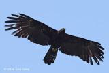 Eagle, Black @ Bach Ma
