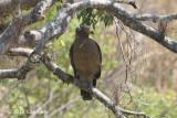 Eagle, Crested Serpent @ Mang Ri