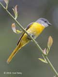 Minivet, Grey-chinned (female) @ Mang Den