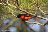 Minivet, Grey-chinned (male) @ Mang Den