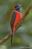 Trogon, Red-naped (male)