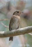 Flycatcher, Brown-streaked @ Pasir Ris