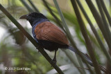 Coucal, Short-toed