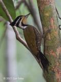 Woodpecker, Olive-backed (female)