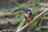 Kingfisher, Indigo-banded (female) @ Puning Trail