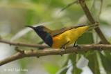 Sunbird, Olive-backed (male) @ Bidadari