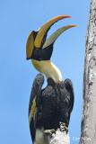 Hornbill, Great (male) @ Bukit Tinggi