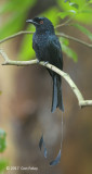 Drongo, Racket-tailed @ Hindhede