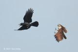 Kite, Brahminy + Large-billed Crow @ NTL2