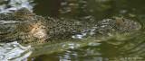 Crocodile, Saltwater @ SBWR