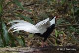 Pheasant, Silver (male) @ SBG