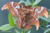 Atlas Moth (mating pair) @ NTL2