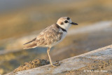 Plover, Malaysian (juv male) @ Marina East Drive