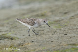 Stint, Red-necked @ Marina East Drive