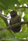 Owl, Mantinani Scops